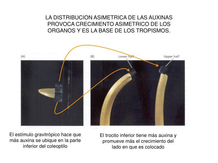 LA DISTRIBUCION ASIMETRICA DE LAS AUXINAS PROVOCA CRECIMIENTO ASIMETRICO DE LOS ORGANOS Y ES LA BASE DE LOS TROPISMOS.