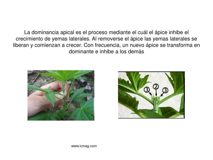 La dominancia apical es el proceso mediante el cuál el ápice inhibe el crecimiento de yemas laterales. Al removerse el ápice las yemas laterales se liberan y comienzan a crecer. Con frecuencia, un nuevo ápice se transforma en dominante e inhibe a los demás