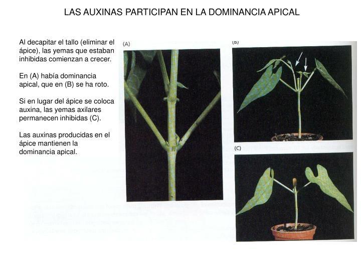 LAS AUXINAS PARTICIPAN EN LA DOMINANCIA APICAL