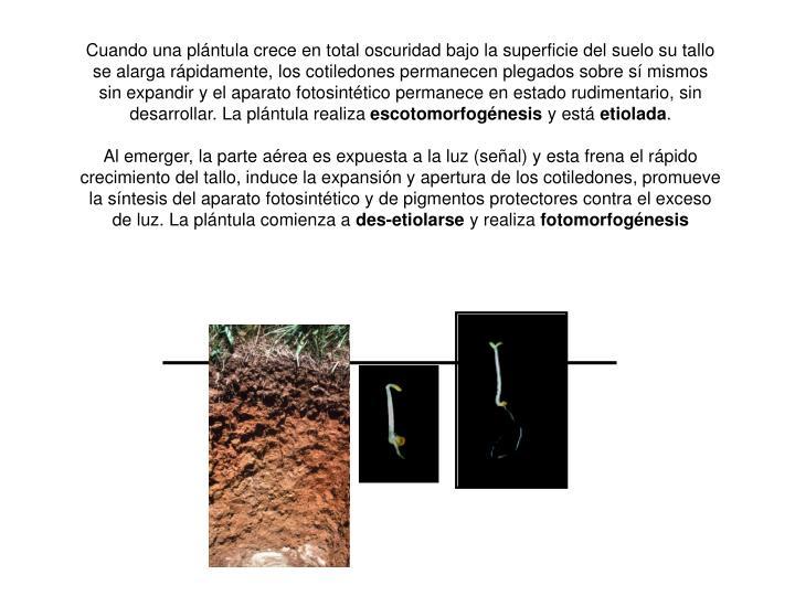 Cuando una plántula crece en total oscuridad bajo la superficie del suelo su tallo se alarga rápidamente, los cotiledones permanecen plegados sobre sí mismos sin expandir y el aparato fotosintético permanece en estado rudimentario, sin desarrollar. La plántula realiza