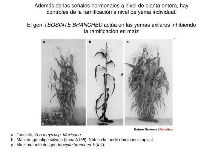 Además de las señales hormonales a nivel de planta entera, hay controles de la ramificación a nivel de yema individual.