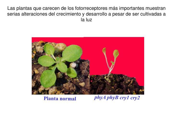 Las plantas que carecen de los fotorreceptores más importantes muestran serias alteraciones del crecimiento y desarrollo a pesar de ser cultivadas a la luz