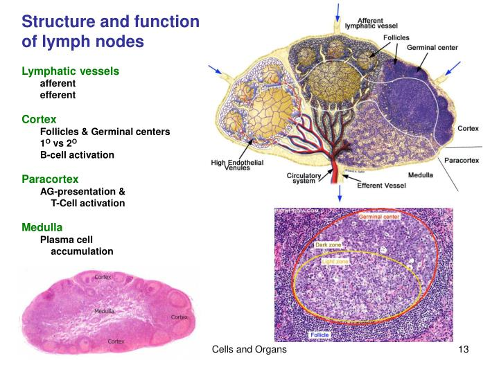 Structure and function of lymph nodes