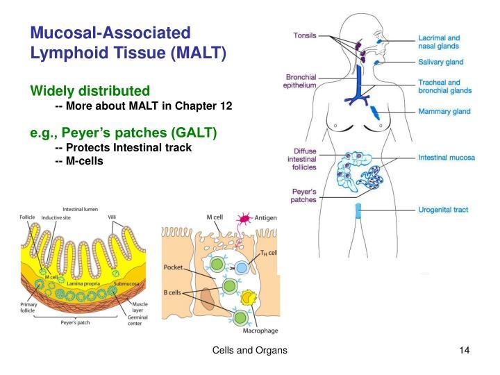 Mucosal-Associated