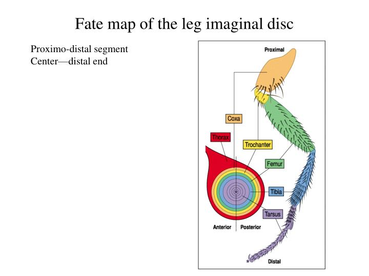 Fate map of the leg imaginal disc