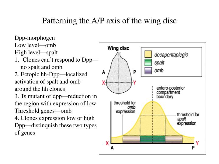 Patterning the A/P axis of the wing disc