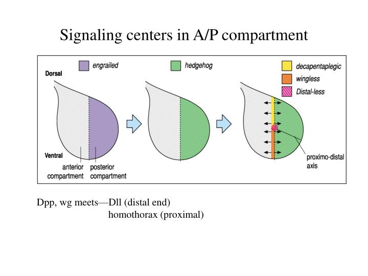 Signaling centers in A/P compartment