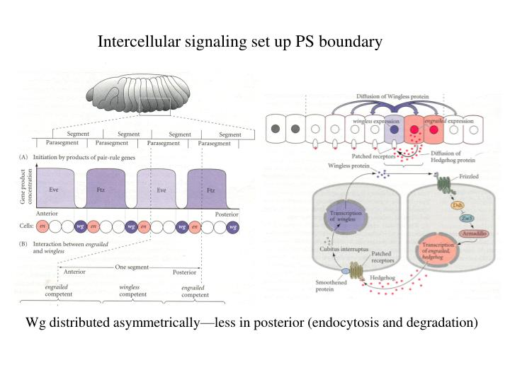 Intercellular signaling set up PS boundary