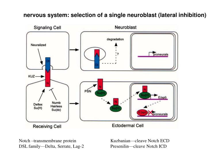 nervous system: selection of a single neuroblast (lateral inhibition)