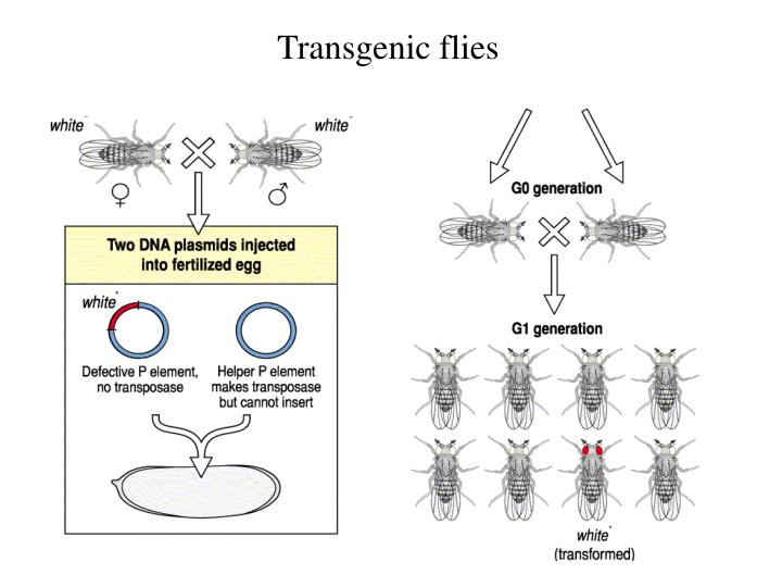Transgenic flies
