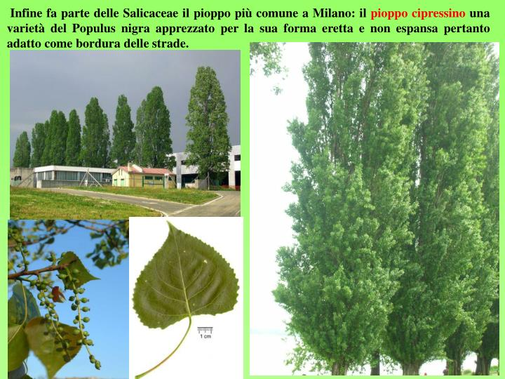 Infine fa parte delle Salicaceae il pioppo più comune a Milano: il