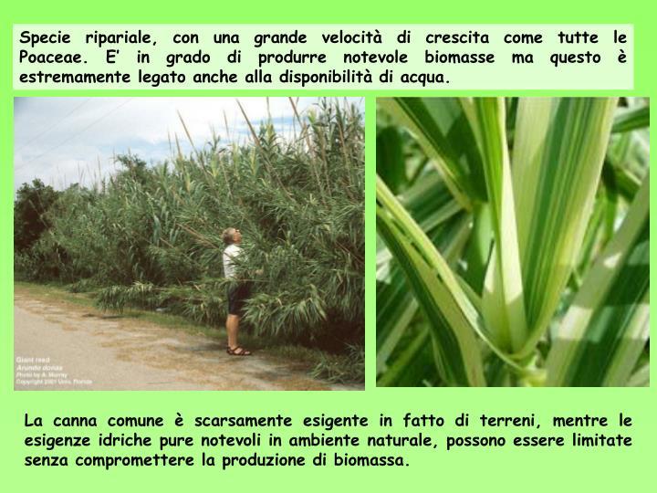 Specie ripariale, con una grande velocità di crescita come tutte le Poaceae. E' in grado di produrre notevole biomasse ma questo è estremamente legato anche alla disponibilità di acqua.