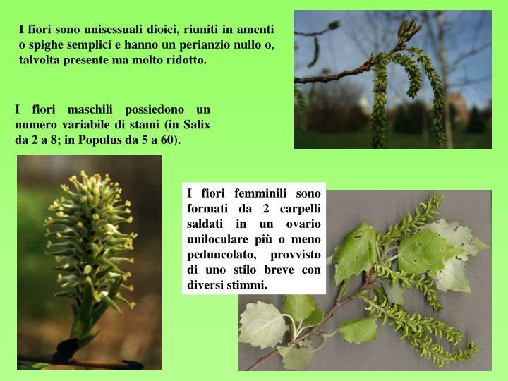I fiori maschili possiedono un numero variabile di stami (in Salix da 2 a 8; in Populus da 5 a 60).