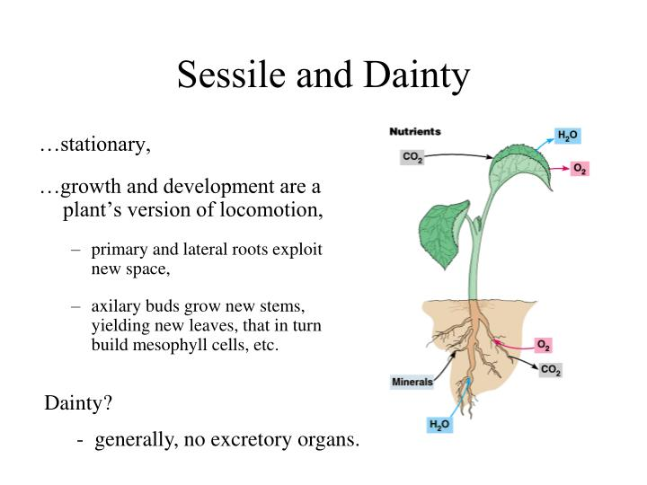Sessile and Dainty