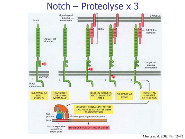 Notch – Proteolyse x 3