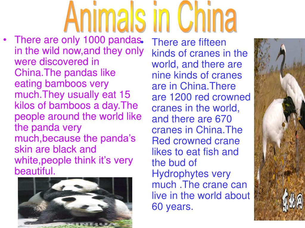 There are only 1000 pandas in the wild now,and they only were discovered in China.The pandas like eating bamboos very much.They usually eat 15 kilos of bamboos a day.The people around the world like the panda very much,because the panda's skin are black and white,people think it's very beautiful.