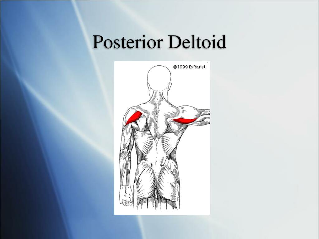 Posterior Deltoid