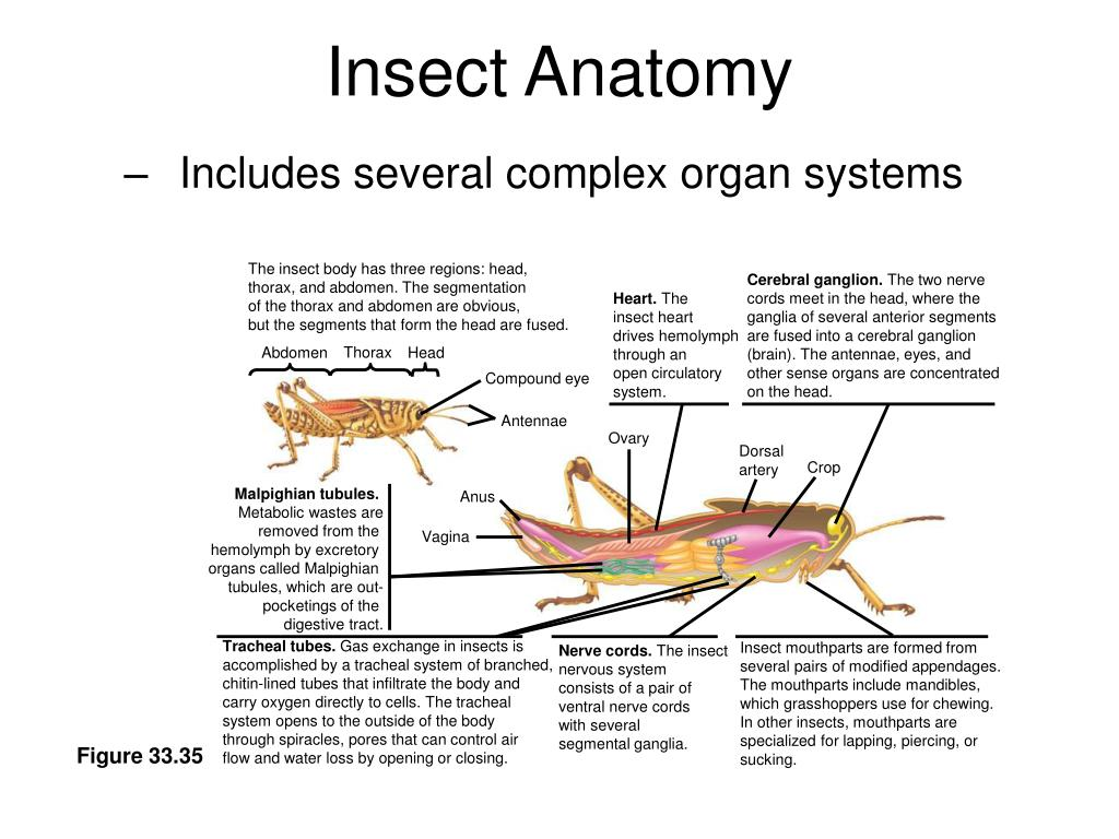 The insect body has three regions: head,