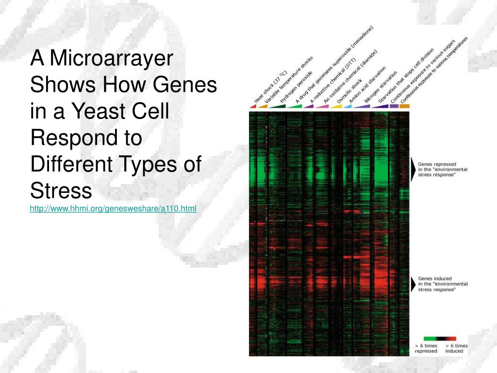 A Microarrayer Shows How Genes in a Yeast Cell Respond to Different Types of Stress