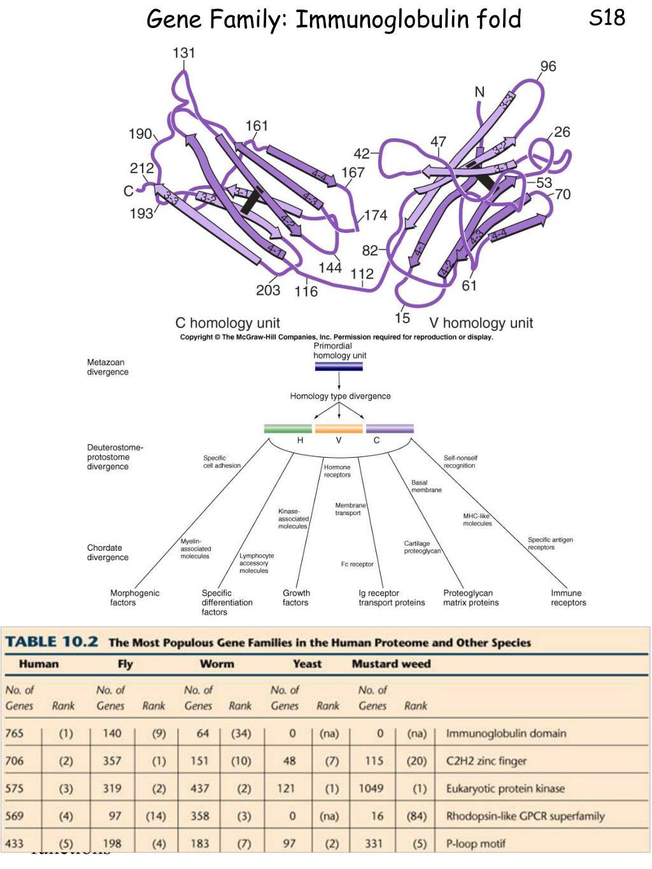 Gene Family: Immunoglobulin fold