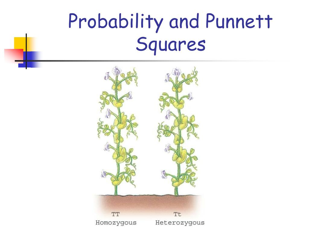 Probability and Punnett Squares