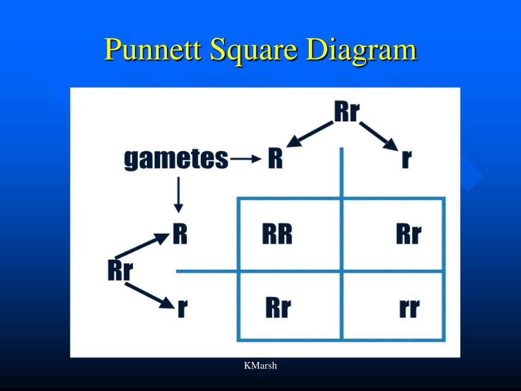 Punnett Square Diagram