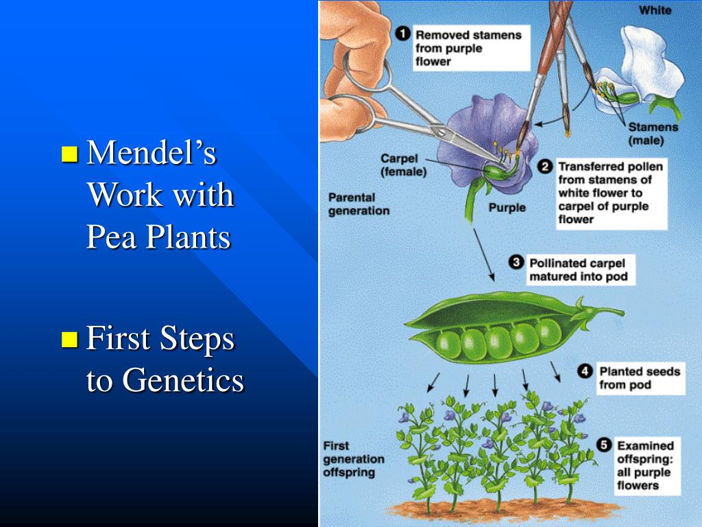 Mendel's Work with Pea Plants