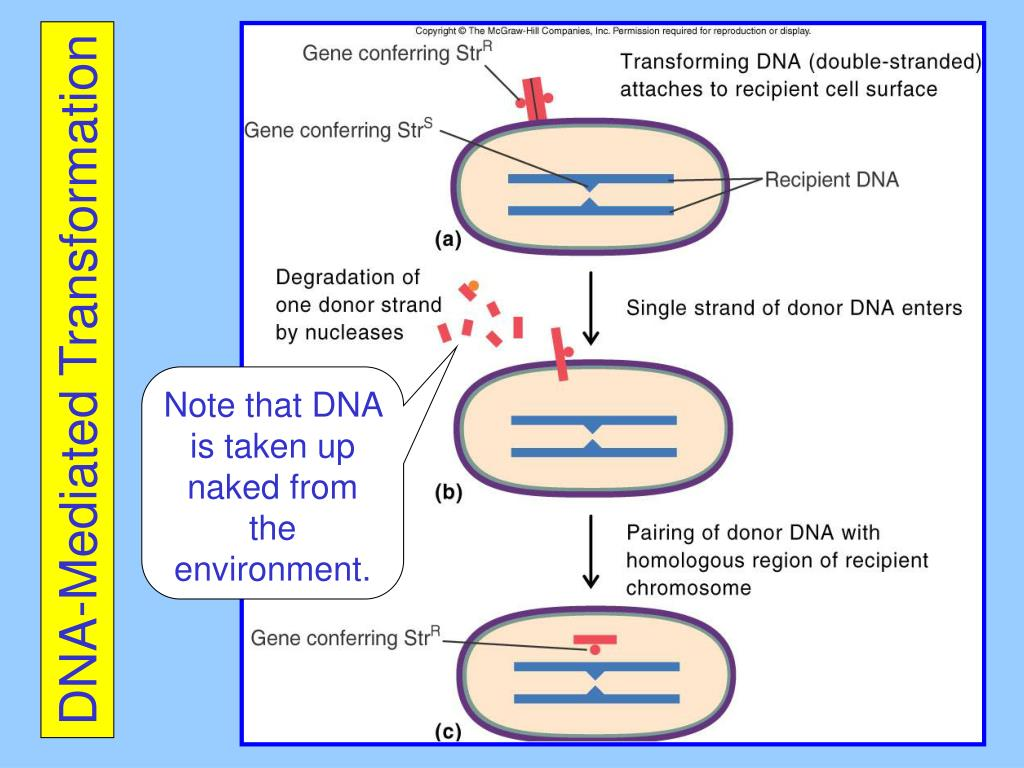 DNA-Mediated Transformation