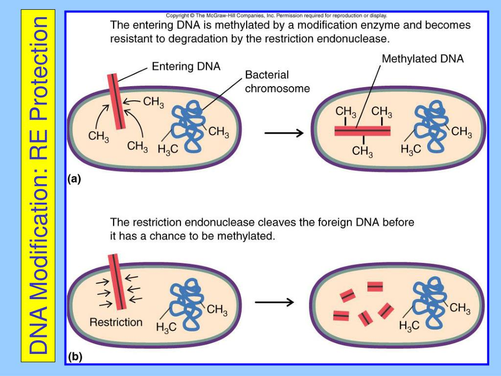 DNA Modification: RE Protection