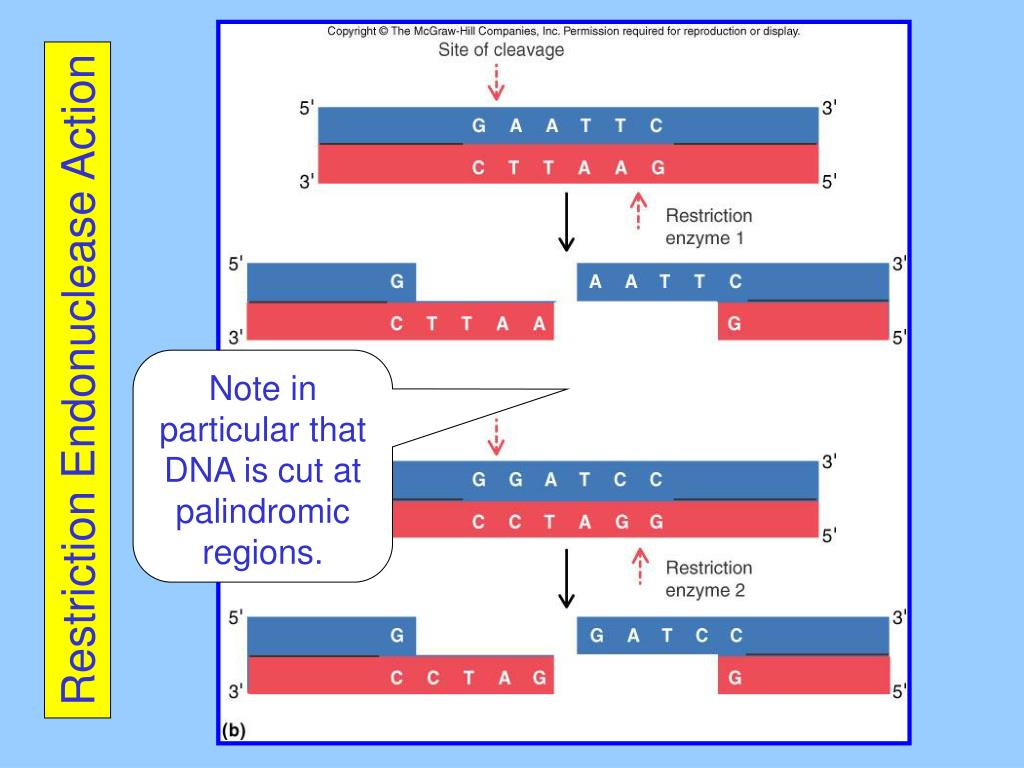 Restriction Endonuclease Action