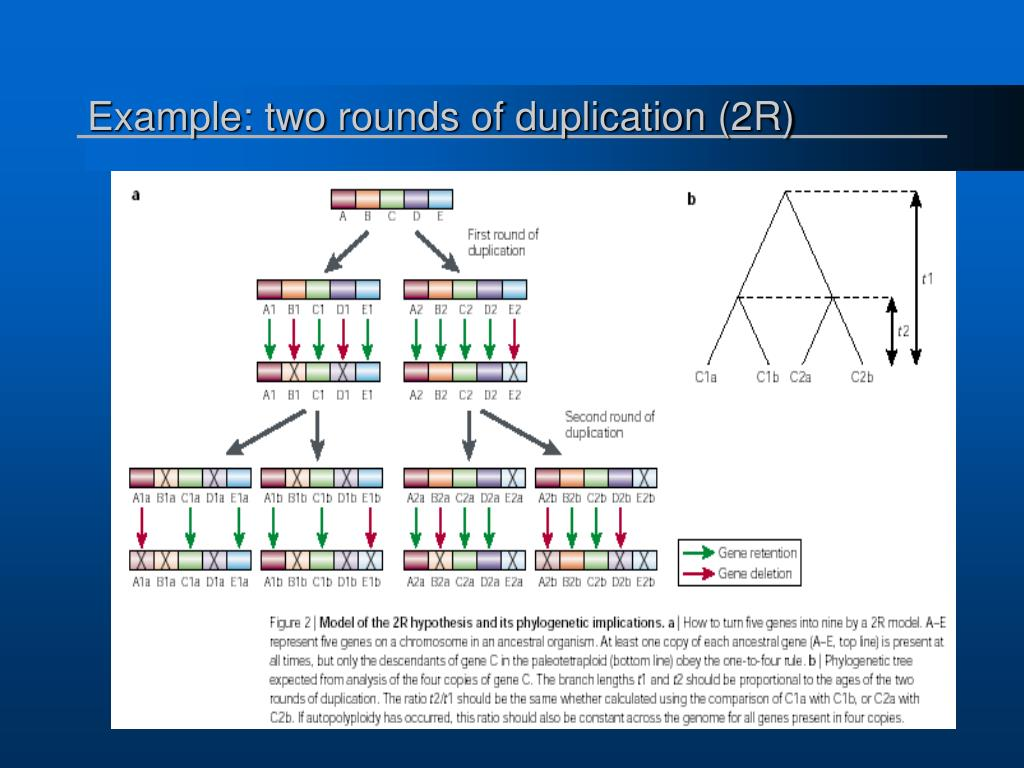 Example: two rounds of duplication (2R)
