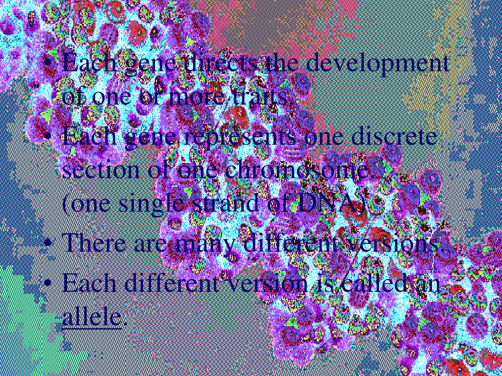 Each gene directs the development of one or