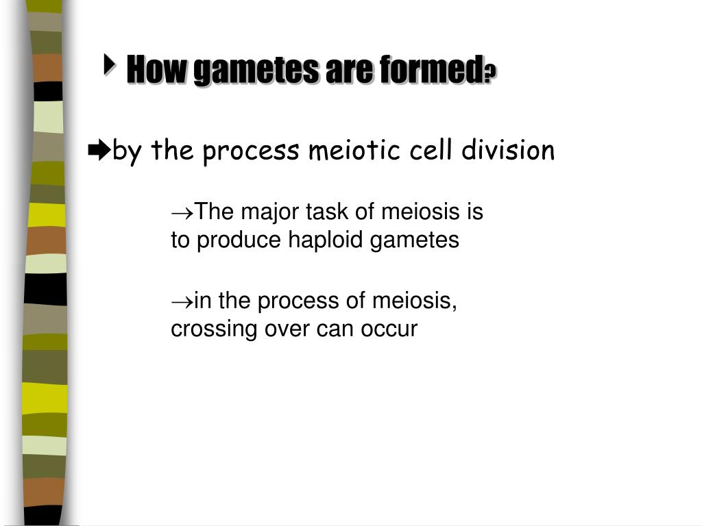 How gametes are formed