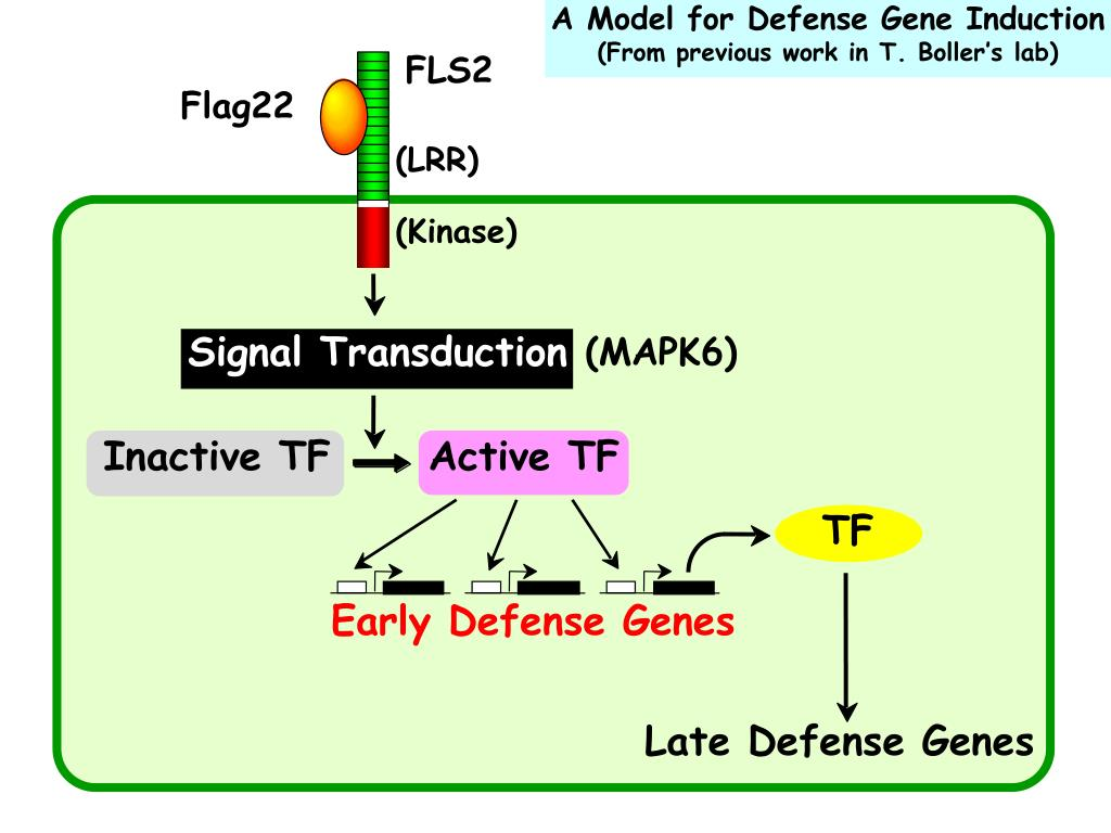 A Model for Defense Gene Induction