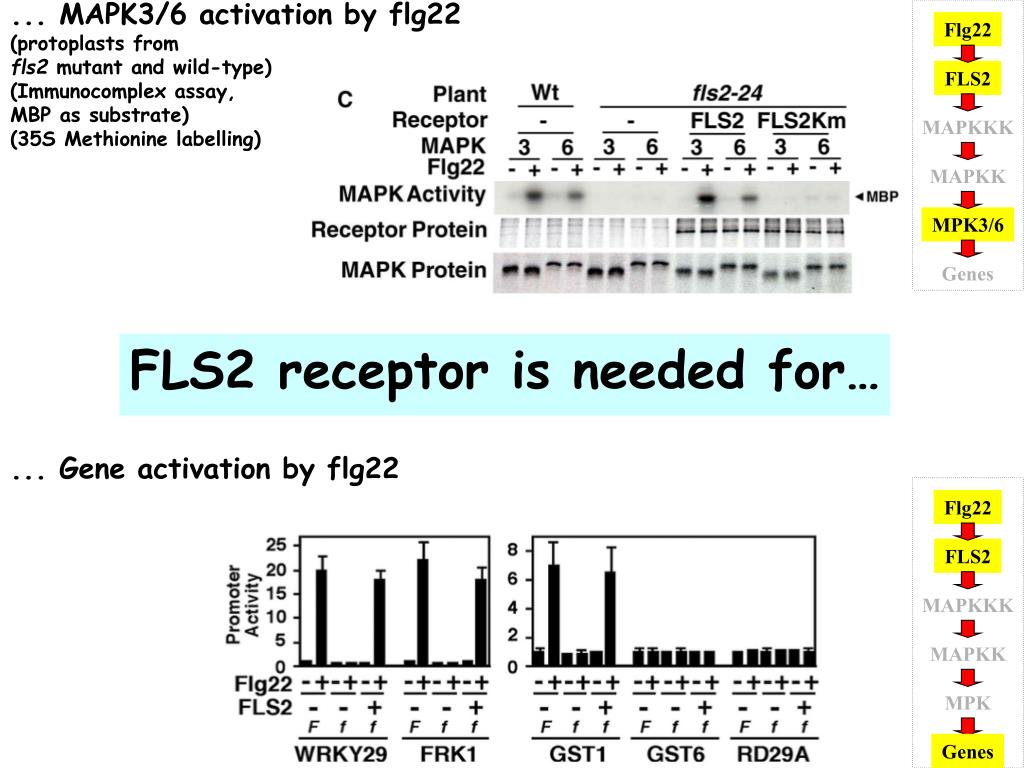 ... MAPK3/6 activation by flg22