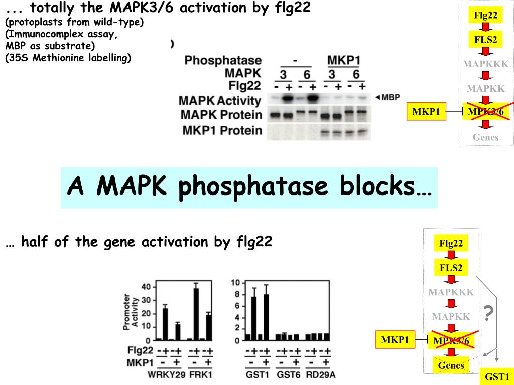 ... totally the MAPK3/6 activation by flg22