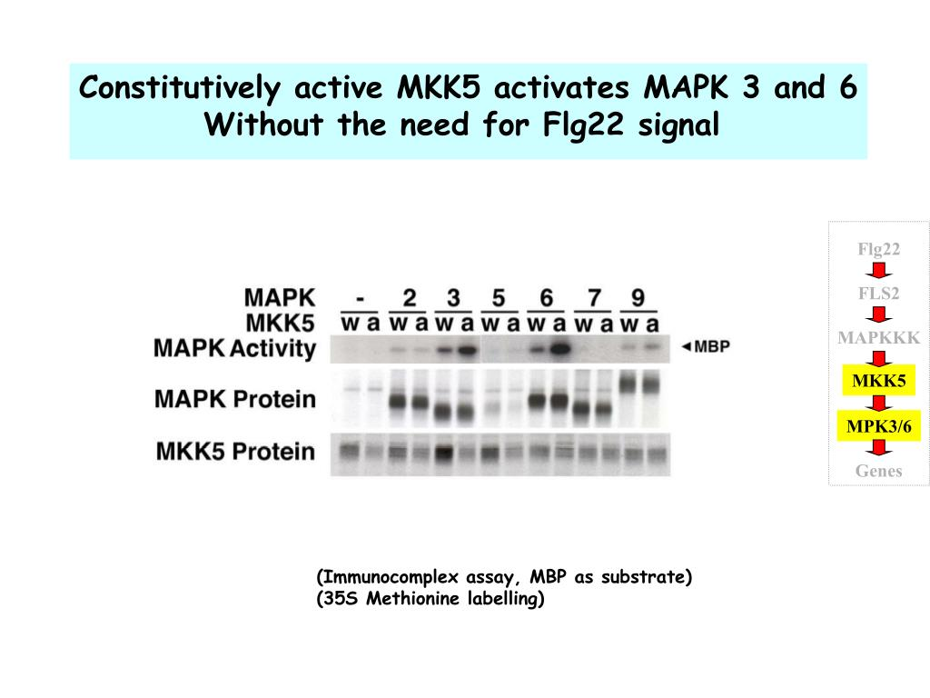 Constitutively active MKK5 activates MAPK 3 and 6