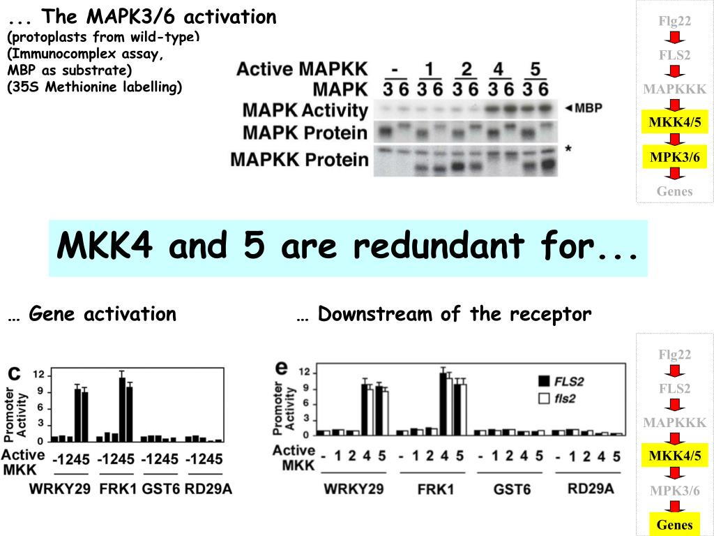 ... The MAPK3/6 activation