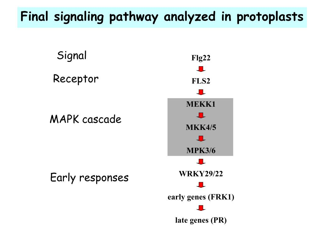 Final signaling pathway analyzed in protoplasts