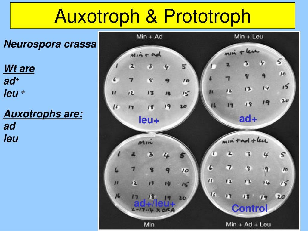Auxotroph & Prototroph