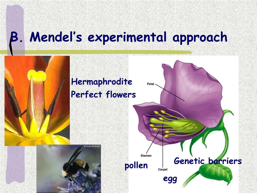B. Mendel's experimental approach