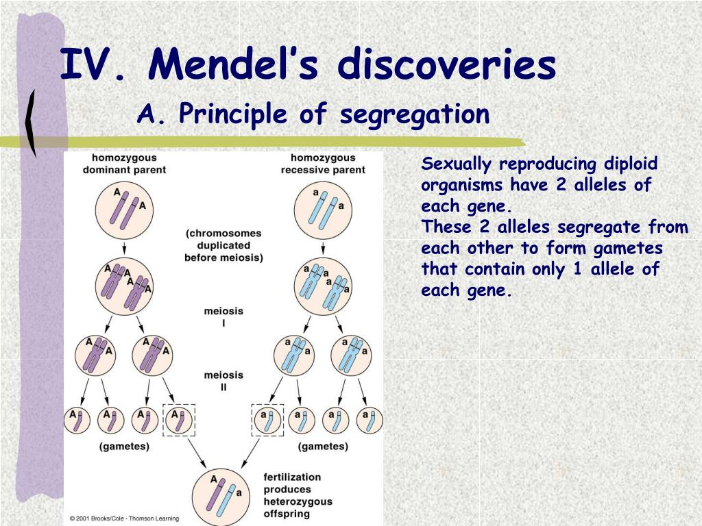 IV. Mendel's discoveries