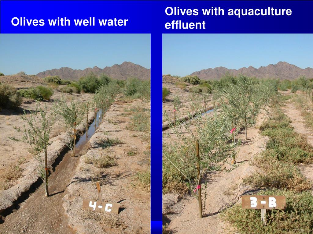 Olives with aquaculture effluent