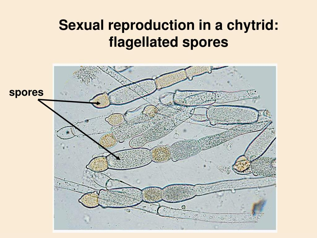 Sexual reproduction in a chytrid: