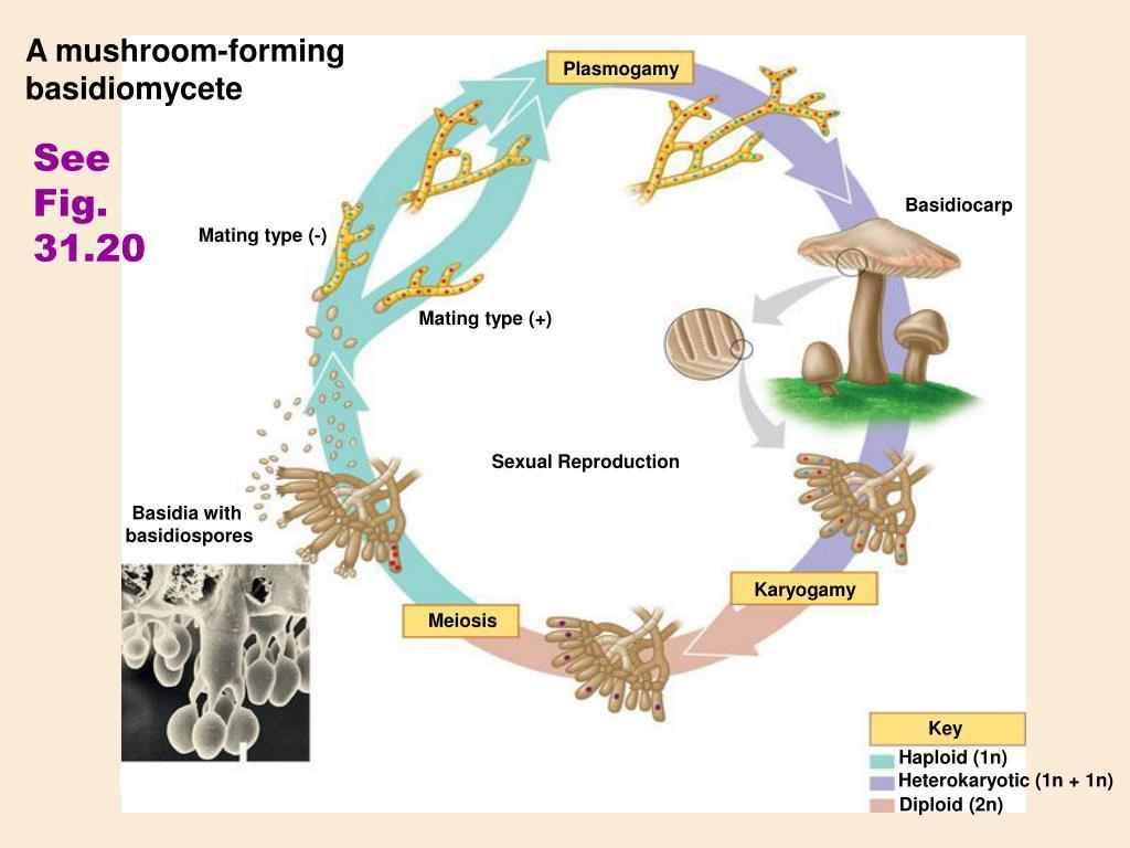 A mushroom-forming