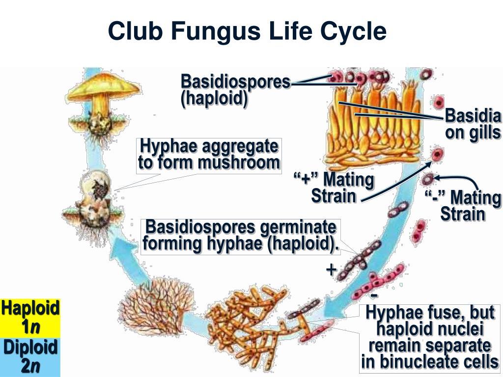 Club Fungus Life Cycle