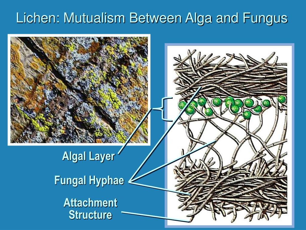 Lichen: Mutualism Between Alga and Fungus