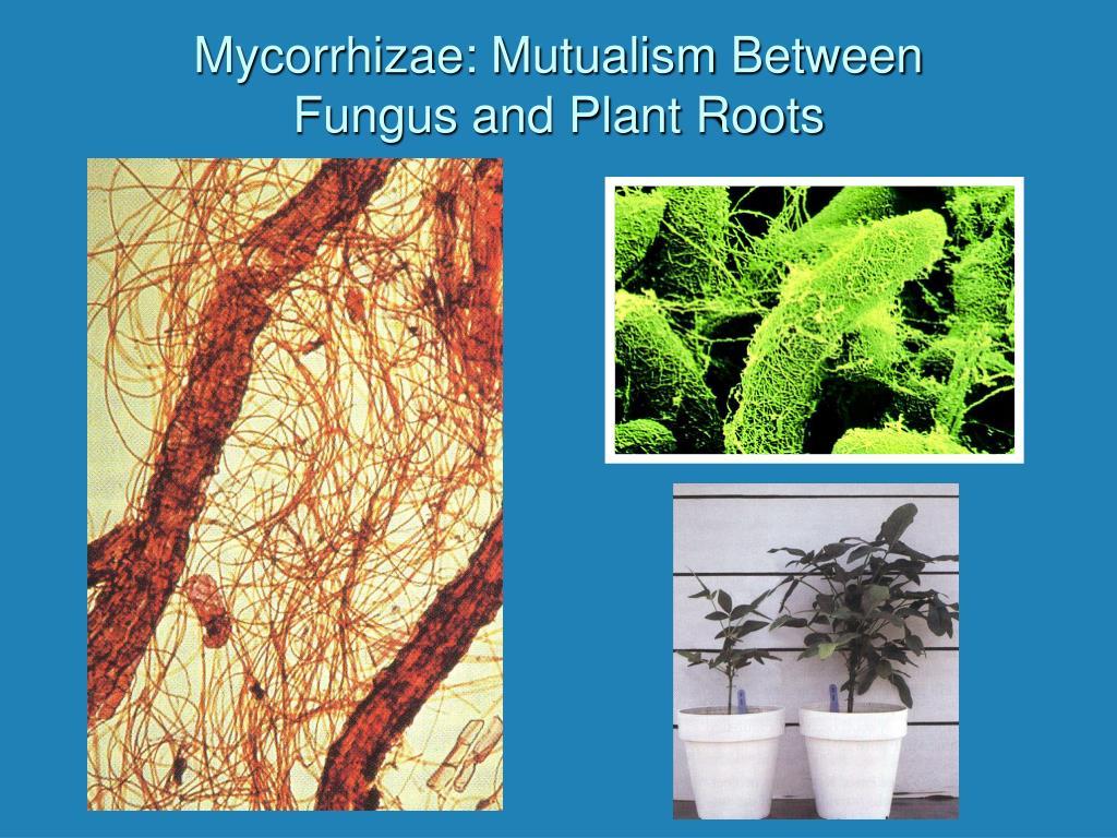 Mycorrhizae: Mutualism Between