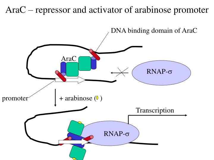 DNA binding domain of AraC
