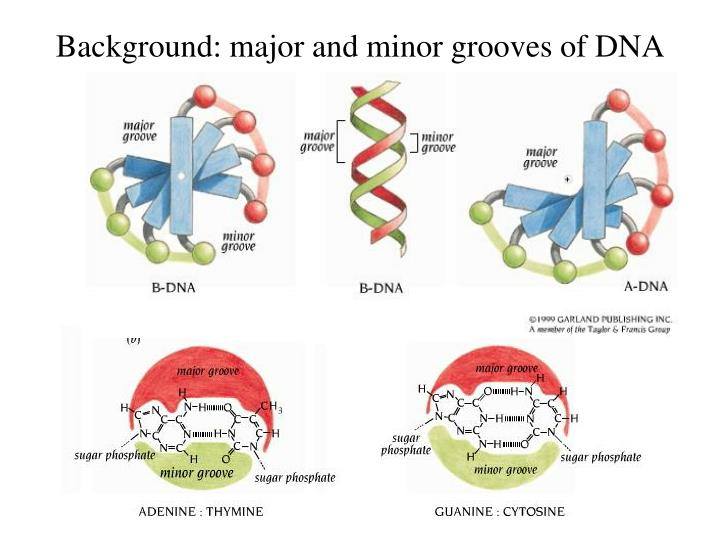 Background: major and minor grooves of DNA